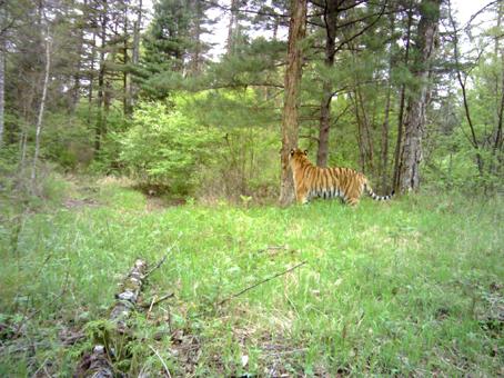 Cerita Fabel Nusantara Harimau lati tunggang langgang di sengat tawon