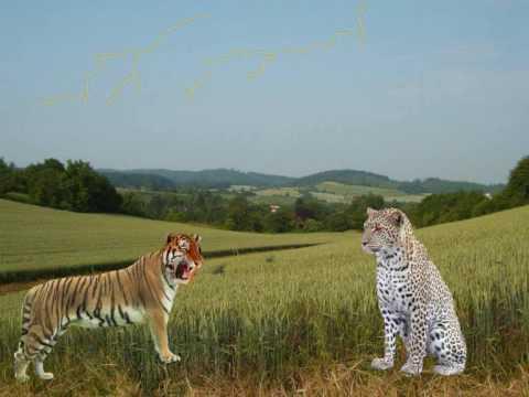 cerita pendek anak harimau dan macan tutul