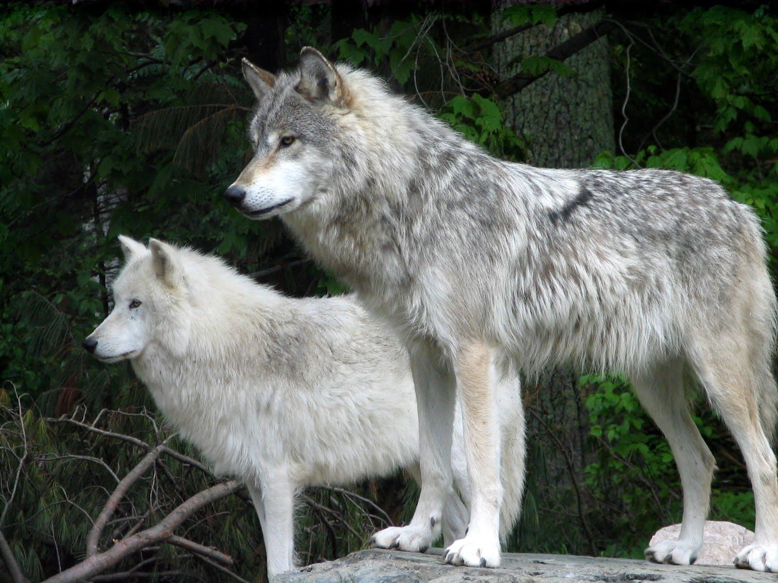 dari jauh kumpulan serigala mengamati para rusa - dongeng nusantara