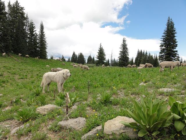 Cerita Rakyat Fabel Nusantara  Domba Kecil Dan Anjing Gunung