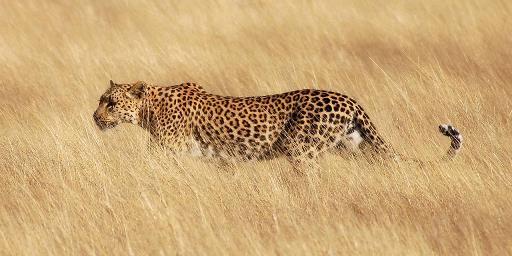 Kisah Rakyat Nusantara Seekor Leopard