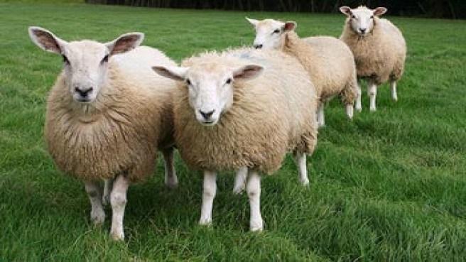 Cerita-Cerita Anak Domba dan Bulu Emasnya