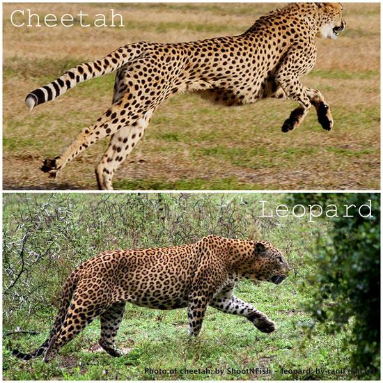 Dongeng Rakyat Dari Papua Barat Leopard Dan Seekor Cheetah