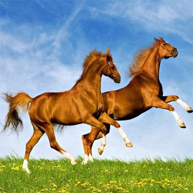 Cerita Rakyat Hewan Fabel : Dongeng Dua Ekor Kuda