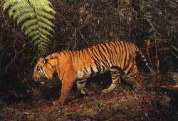 Cerita Fabel Terbaru : Tikus dan Seekor Harimau