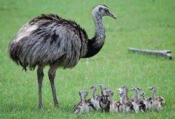 Cerita Pendek Hewan : Anak Burung Unta Dan Ibunya