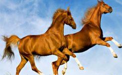 Fabel Cerita Rakyat Hewan Dongeng Dua Ekor Kuda