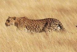 Kisah Rakyat Nusantara : 4 Karibu dan Seekor Leopard