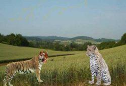 Cerita Pendek Anak : Fabel Harimau dan Macan Tutul