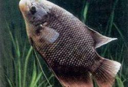 Cerita Rakyat Fabel : Perjuangan Ikan Gurame